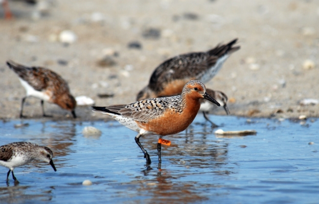Tagged red knot. Mispillion Harbor, Delaware. Credit: Gregory Breese/USFWS