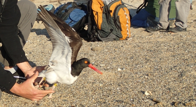 An American oystercatcher released.