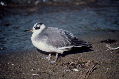 Red_Phalarope