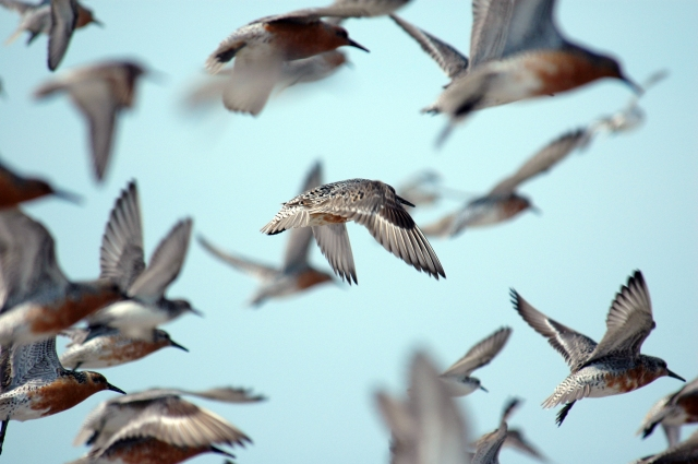 Red knots flying over Mispillion Harbor, Delaware. Credit: Gregory Breese/USFWS