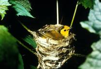 A hooded warbler. Credit: USFWS