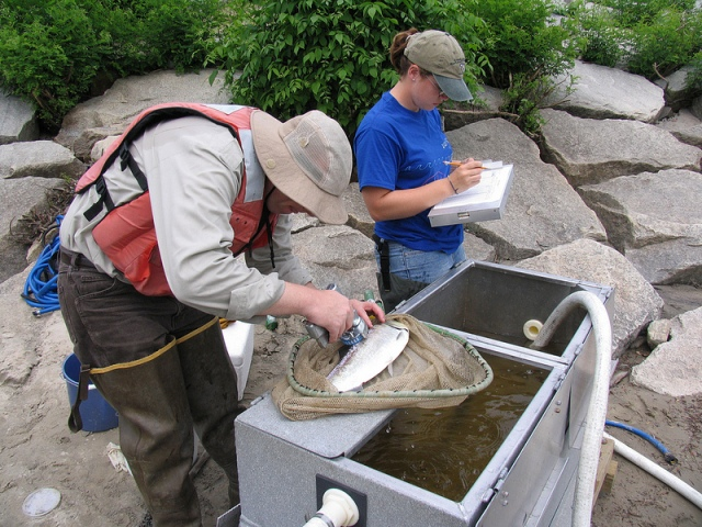 Two fisheries biologist stand next to a portable tank. One is measuring an adult fish while the other notes data on a clipboard.