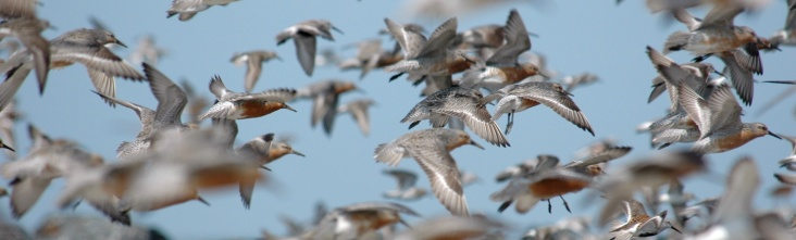 Red knots at Mispillion Harbor, Delaware. Credit: Gregory Breese/USFWS