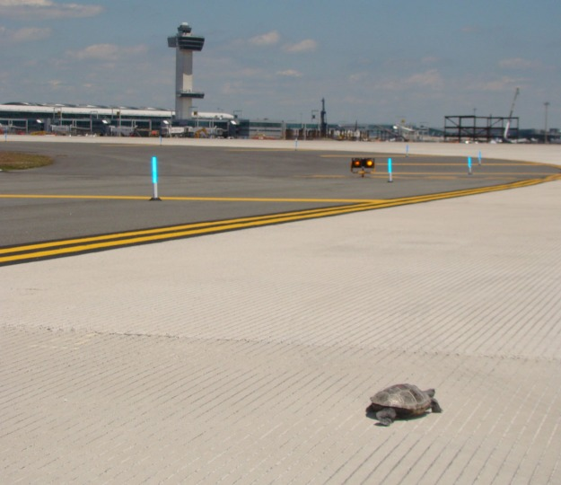 Yes, that's a diamondback terrapin  crossing a taxiway at John F. Kennedy International Airport. Credit: Port Authority of NY & NJ.