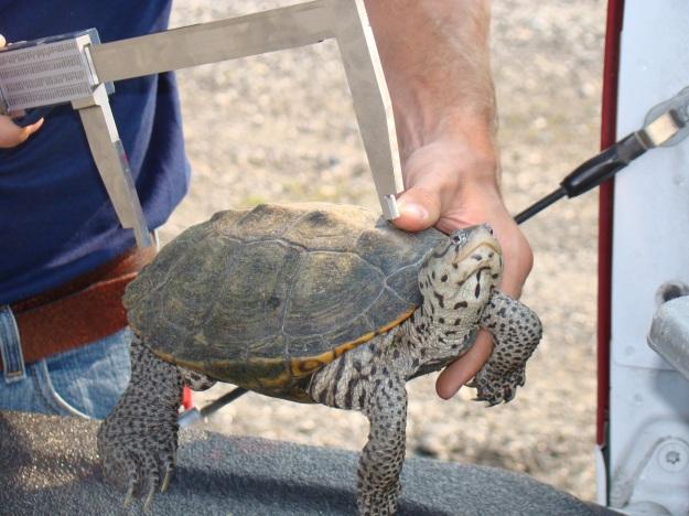 Measuring the terrapin shell. Credit: Port Authority of NY & NJ