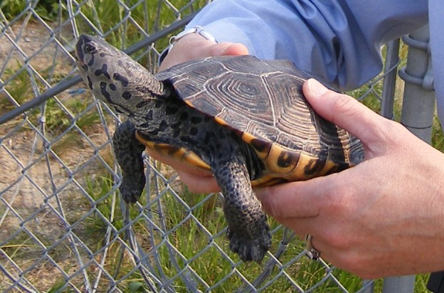 A diamondback terrapin about to be released by Laura Francoeur, chief wildlife biologist for the Port Authority of New York and New Jersey. Photo courtesy of Laura.