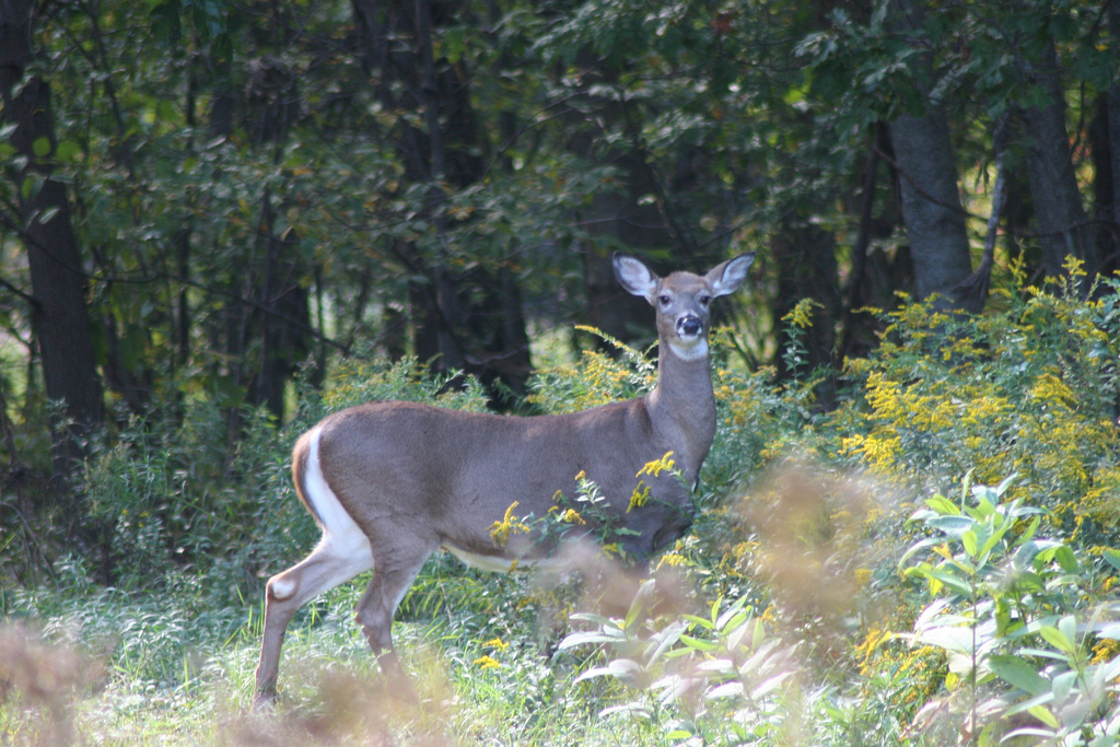 White-tailed deer at Great Bay National Wildlife Refuge, Newington, NH. Credit: Greg Thompson/USFWS