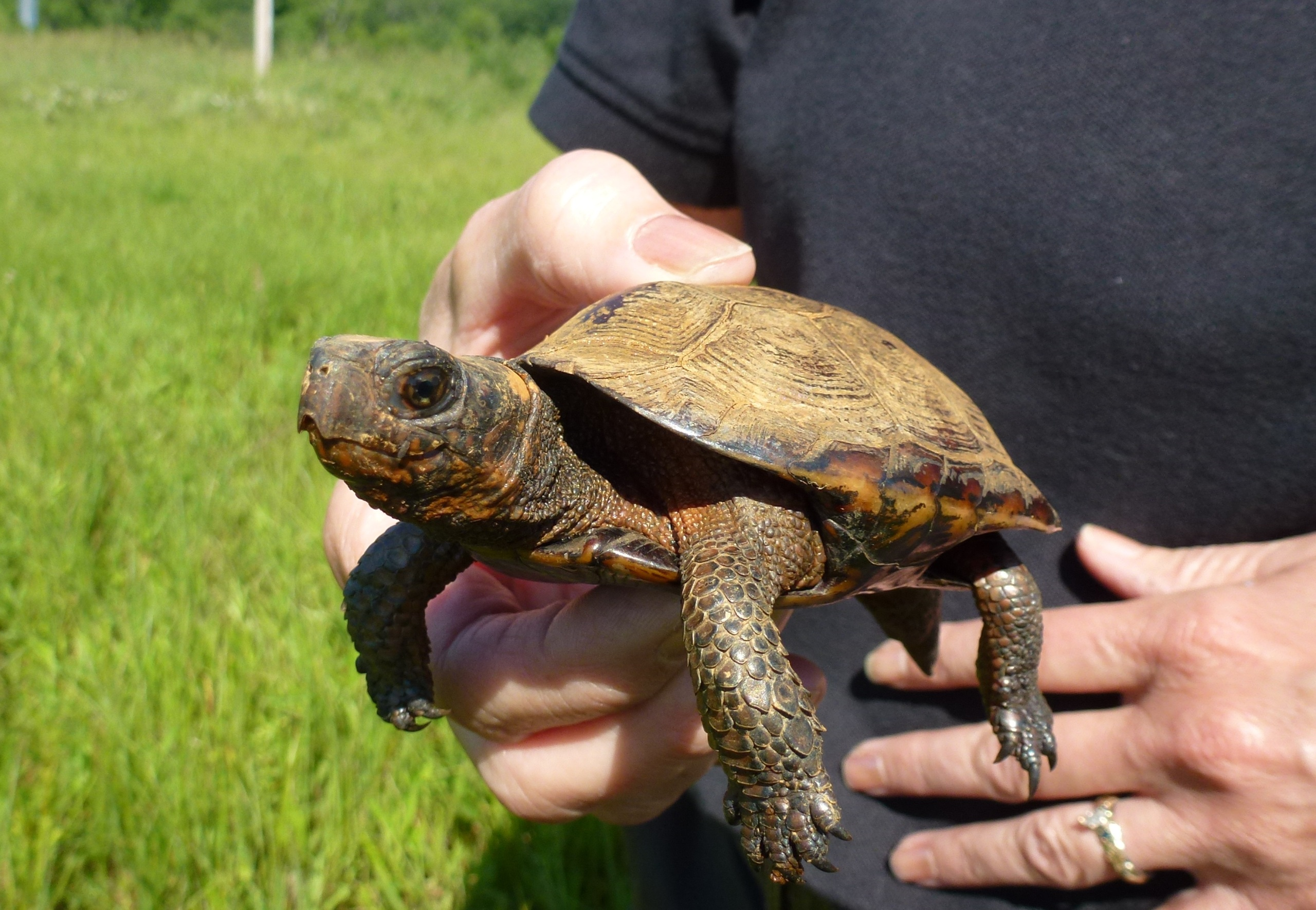 An older bog turtle found during a survey. Credit: Bethany Holbrook/USFWS