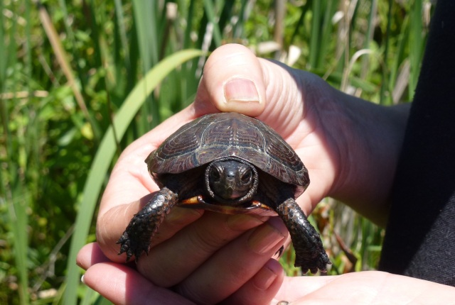A young bog turtle found during a survey by the U.S. Fish and Wildlife Service. Credit: Bethany Holbrook/USFWS