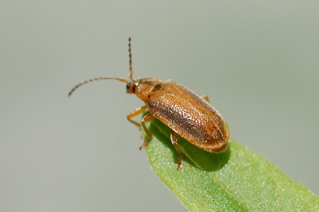 Adult Galerucella beetle.
