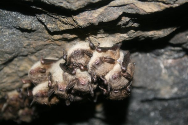 When these hibernating endangered Indiana bats (and the little brown bats that are next to the Indiana bats here) leave for the summer, some head to Great Swamp National Wildlife Refuge. Credit: Ann Froschauer/USFWS