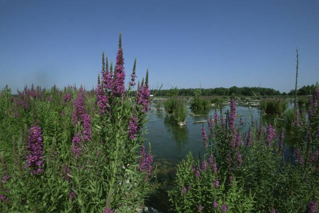 Purple loosestrife is a tall invasive plant with magenta-colored flowers that adapts to wetland areas. Once established, the plant begins to compete with native plants reducing natural habitats for waterfowl and other species which depend on aquatic environments.