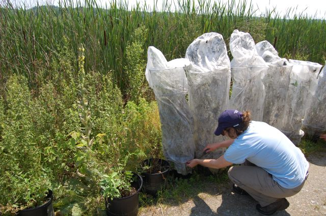 Removing mesh nets, which protect beetles, to release the beetles from the loosestrife. Credit: Katrina Scheiner, USWFS