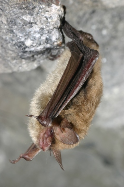 White-nose syndrome has led to a 99-percent drop in northern long-eared bat populations in the Northeast, leading to our proposal earlier this month to protect them as endangered. Credit: Al Hicks/NYSDEC