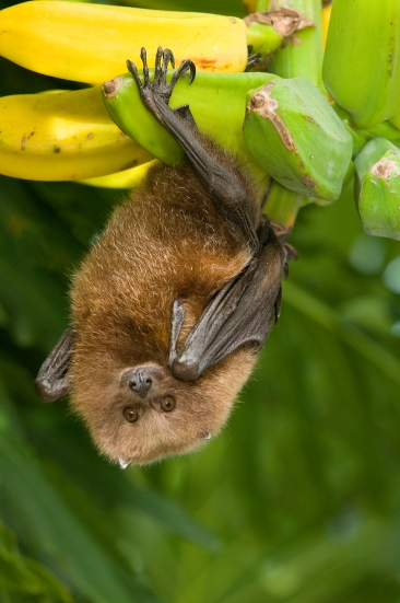 Here's an exotic one for you. The Rodrigues flying fox is the only native mammal from the island of Rodrigues in the Mauritius Island belt near Madagascar. These endangered bats were brought into captivity in the late 1970s when their numbers were less than 100 on the island. Photo courtesy of Organization for Bat Conservation, credit to Steve Gettle. Read more at their site.