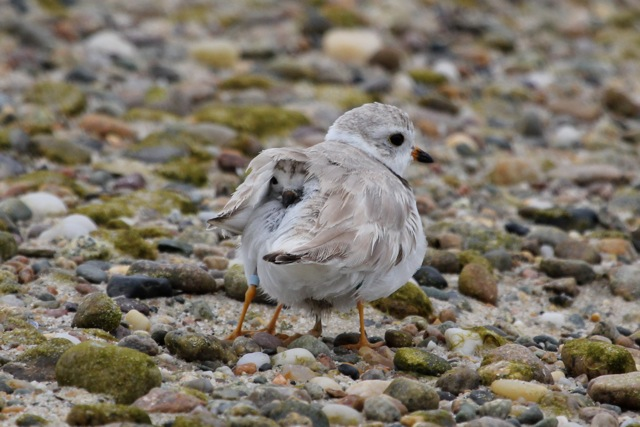 A plover and chick at Ellisville Beach. Credit and courtesy of: Diane Fletcher