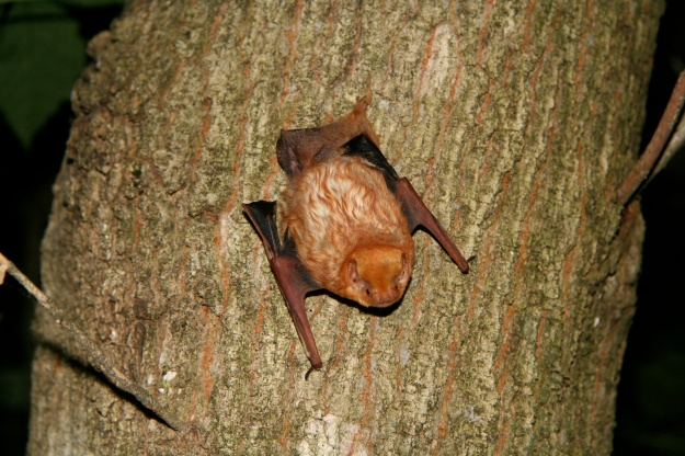 Eastern red bats are America's most abundant tree bats, roosting right out in the foliage of deciduous or sometimes evergreen trees. Read more at Bat Conservation International. Credit: Marianne Moore
