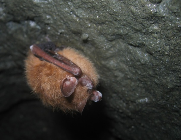 A tri-colored bat showing signs of white-nose syndrome while hibernating in a Massachusetts cave. Credit: Jon Reichard