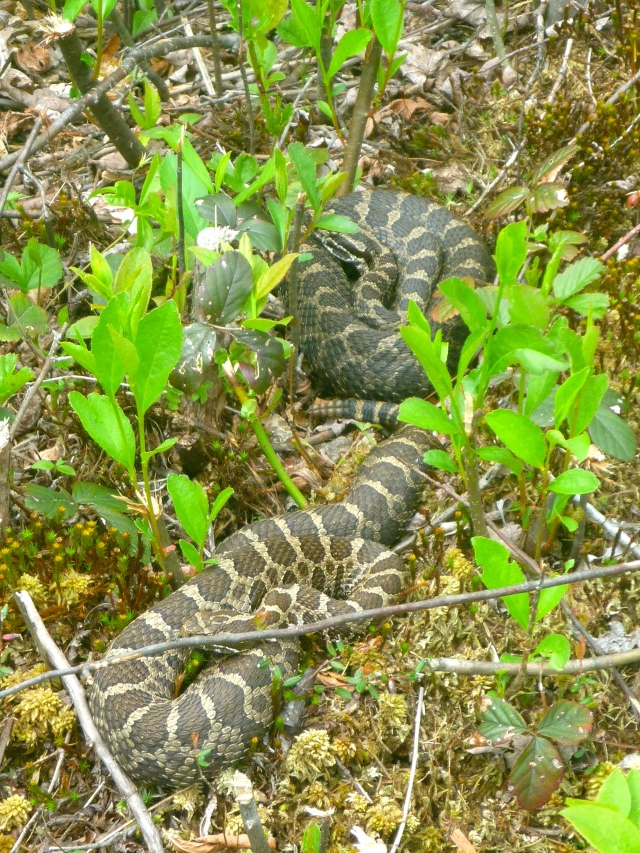 Two gravid females basking. Notice the plants are low to the ground and the woody shrubs have been cut. Credit: Noelle Rayman/USFWS