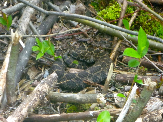 Massasaugas are small snakes with thick bodies, heart-shaped heads and vertical pupils. Averaging two feet in length, adults are gray or light brown with large, light-edged chocolate brown blotches on the back and smaller blotches on the sides. Populations of this snake have declined so much that it is now necessary to work to conserve the massasauga, a secretive, docile snake. This venomous rattlesnake relies on its camouflage coloration to hide. Credit: USFWS