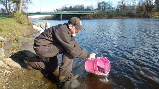 One of our biologists, Scott Schlueter, releasing sturgeon in the Raquette River in Massena Springs. Credit: USFWS