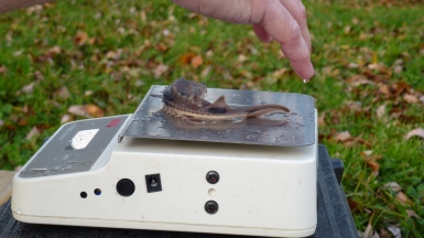Service biologists took a sample of 50 fingerlings and measured their weight to find an average. Credit: USFWS