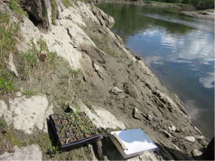 Flats of seedlings carefully brought to the steep slope of the Connecticut River. Credit: Alison Whitlock/USFWS