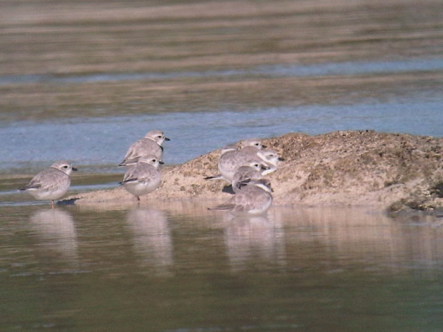 Piping plovers on exposed limestone shore in the Bahamas. Photo from Conserve Wildlife Foundation of New Jersey.