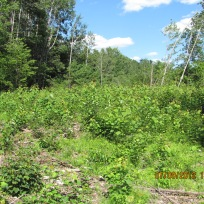 This July 2012 photo shows the regeneration of the aspen stand in just the first growing season. Pretty incredible, right? Credit: Ted Kendziora/USFWS