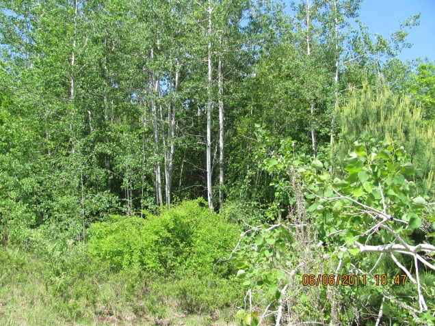 Here's what we started with in June 2011 at Lee Five Corners Preserve in Strafford County, New Hampshire. This is a mature aspen stand -- unsuitable for New England cottontails. Credit: Ted Kendziora/USFWS