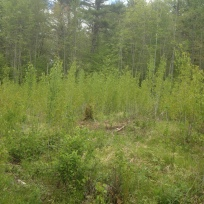This photo shows the second growing season, this past May. Credit: Ted Kendziora/USFWS
