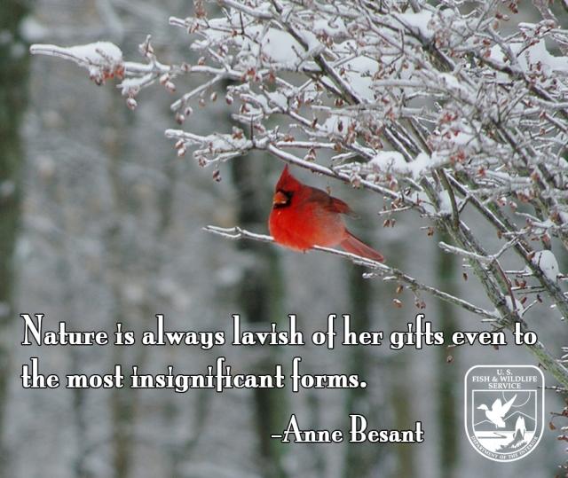 cardinal in snowMEME2