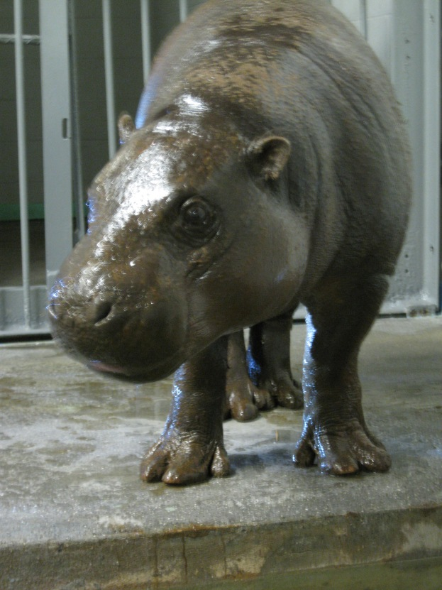 All I Want For Christmas Is A Hippopotamus.All I Want For Christmas Is A Pygmy Hippopotamus U S