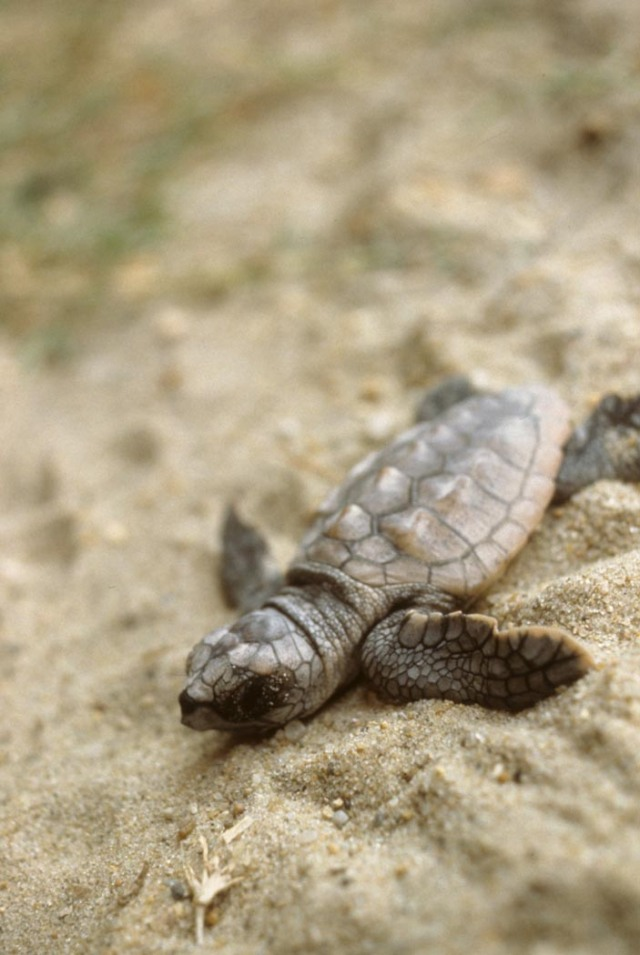 Loggerhead_Sea_Turtle_Hatchling_credit_to_FWS
