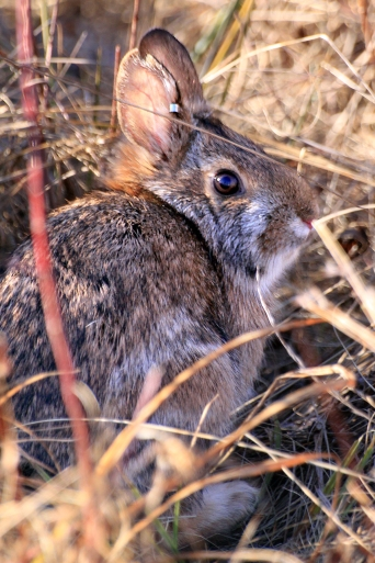 While New England cottontails might look like eastern cottontails, they're two different species. New England cottontails are native, and eastern cottontails were introduced to New England in the early 20th Century. They use different habitats, and an extremely close look reveals differences in eyes and other physical traits. Credit: New Hampshire Fish and Game Department