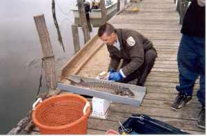 A biologist handles a fish on a dock.