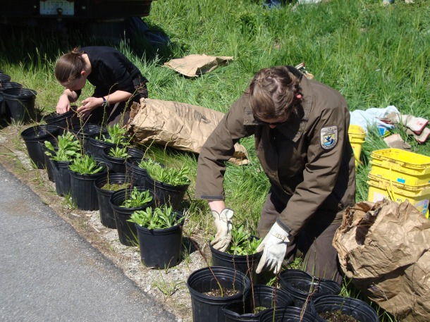 Planting these native shrubs helps create habitat for the New England cottontail, which uses thickets, young forest and shrubland for its home. These young forests are generally less than 25 years old. Credit: USFWS