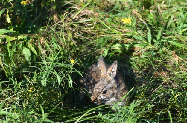 New England cottontails aren't easy to photograph. This photo was taken just after the rabbit was released by biologists. It was raised in captivity as part of our program to conserve the species. Credit: USFWS