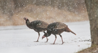 Wild turkeys at Great Swamp National Wildlife Refuge. Credit: Jim Gilbert