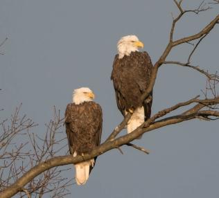 Bald eagles at Great Swamp National Wildlife Refuge. Credit: C. Hantis
