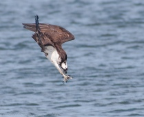 Osprey Dive - Kristofer Rowe Photography