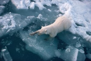 A Polar Bear struggles to gain footing on melting ice.