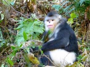 snub-nosed monkey