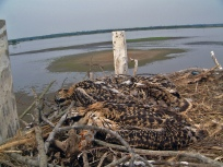 Ospreys in their oceanfront nest. Location, location, location. Credit: USFWS