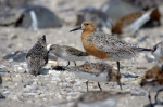 Climate change may extensively reduce the red knot's Arctic breeding habitat and the roosting habitats the knot uses as it migrates south along the eastern U.S. Credit: Greg Breese/USFWS