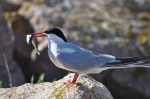 Sea-level rise may reduce nesting habitat for seabirds, especially tern species like the common tern pictured here. Credit: Amanda Boyd/USFWS