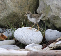 This spotted sandpiper chick is taking a stroll! Credit: USFWS