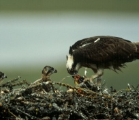 Another osprey! Credit: USFWS