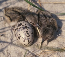 American oystercatcher chicks! Credit: USFWS