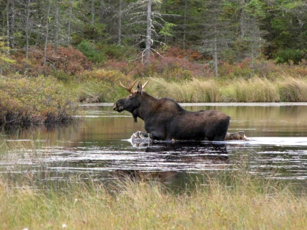 The eastern moose may be vulnerable to outbreaks of moose ticks that survive mild winters well and can cause stressful hair loss and increased calf mortality. Credit: David Govatski/USFWS